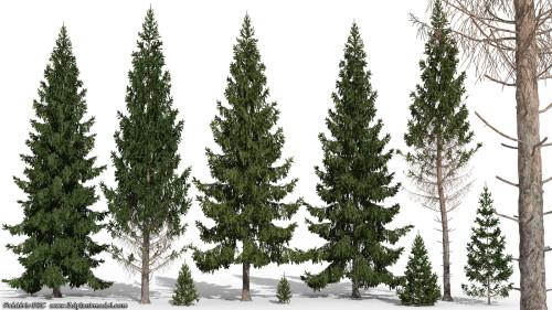 Norway Spruce/Picea Abies via http://cornucopia3d.e-oncontent.com