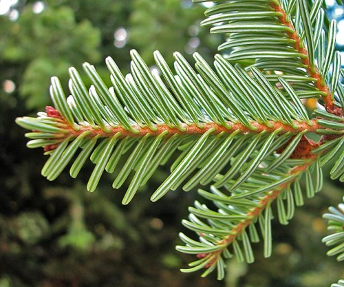 Norway Spruce/Picea Abies via http://www.conifers.org