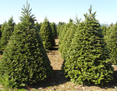Grand Fir/Abies Grandis via http://www.hickschristmastreeswashington.com