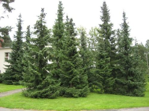 Serbian Spruce/Picea Omorika via www.masterplanlandscapedesignpa.com